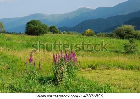 Idyllic landscape with blooming Lythrum salicaria (Purple loosestrife) - stock photo