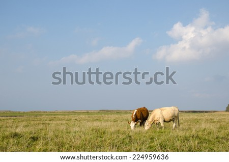 Idyllic view at a pastureland with grazing cows at the Swedish island Oland - stock photo
