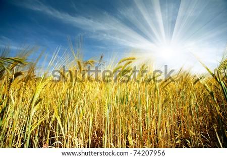 Idyllic wheat field and sunshine - stock photo