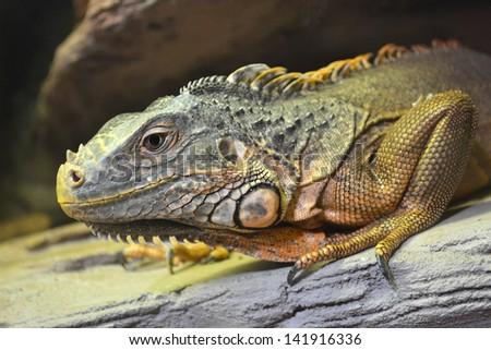 iguana animals - stock photo