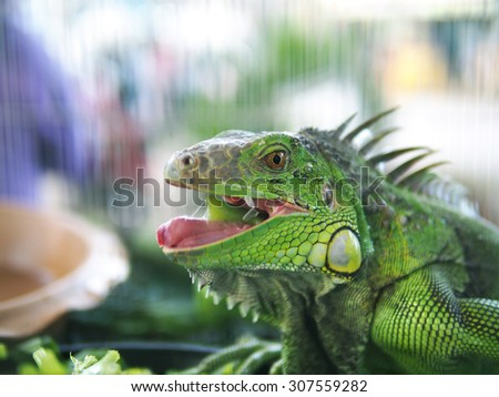 iguana close up HA HA HA  of focus
