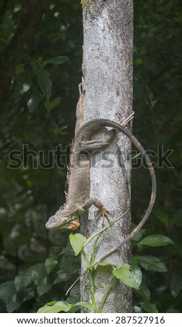 Iguana ((Ctenosaura similis)) sunning himself on tree trunk. - stock photo