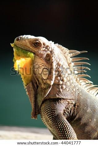 Iguana eating mango - stock photo
