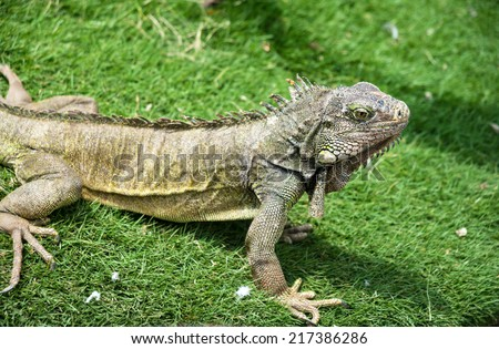 Iguana enjoying the summer weather at a park in Guayaquil, Ecuador - stock photo