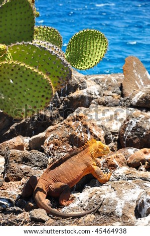 Iguana Galapagos Islands - stock photo