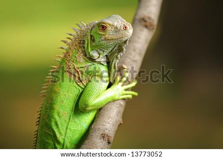 Iguana in the wild - stock photo