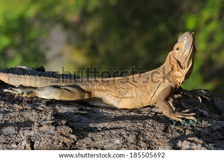 Iguana laying on a tree - stock photo