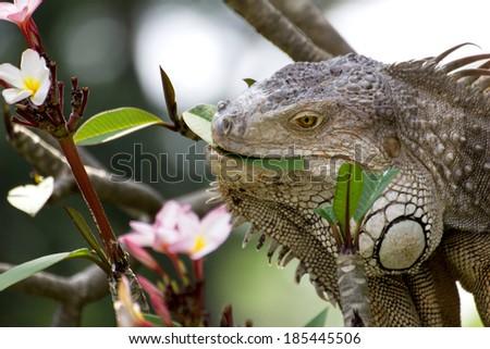 iguana lizard eating flower of Plumaria tree in the wild - stock photo