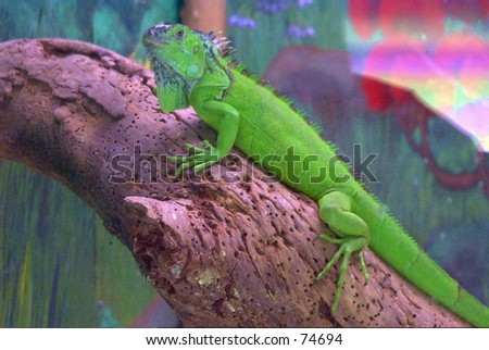 Iguana on a log at the Catskill Game Farm in upstate New York. - stock photo