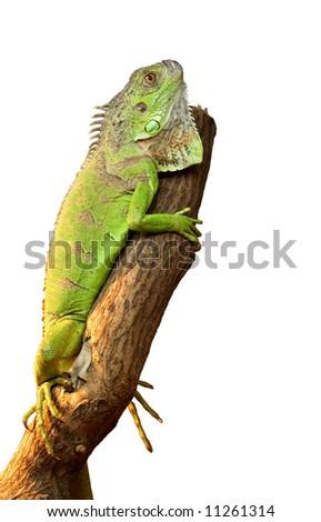 iguana on a tree on white background - stock photo