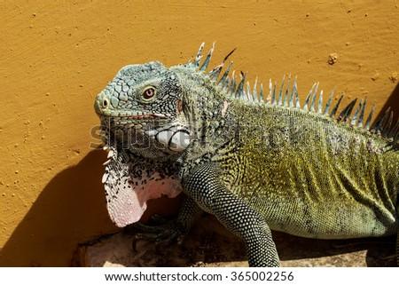 Iguana on Curacao - stock photo