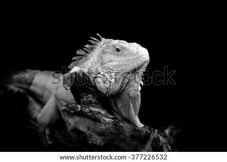 Iguana on dark background. Black and white image - stock photo