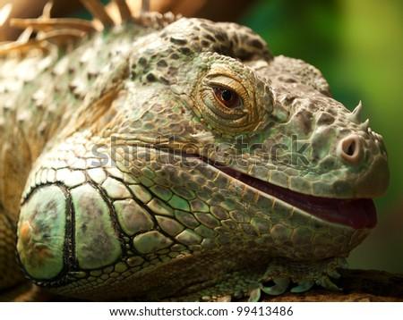 Iguana on green background. - stock photo