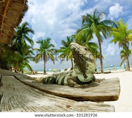 Iguana on The Caribbean Beach. Mexico, Cancun, Isla Mujeres - stock photo