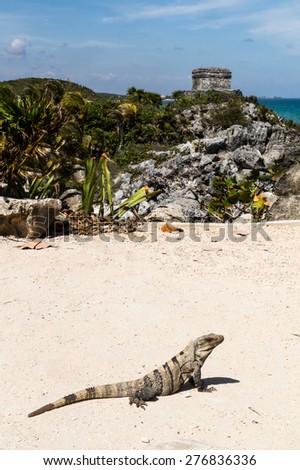 Iguana on the cliff of Tulum - Mexico - stock photo