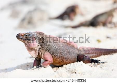 Iguana on white sand beach at tropical island in Cuba - stock photo