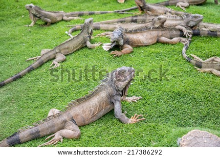 Iguanas enjoying the summer weather at a park in Guayaquil, Ecuador - stock photo