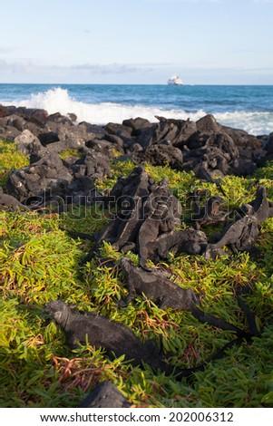 Iguanas sunbathing in the Galapagos - stock photo