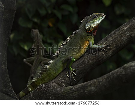Iguanas They are at a critical crossroads and some are perilously close to vanishing from the earth forever. Without your help, these truly amazing ancient reptiles will disappear forever. - stock photo
