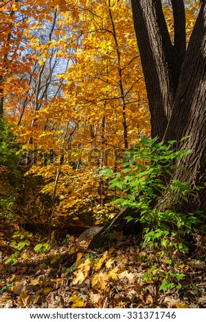 Illinois Autumn as the morning sun shines into the woods. - stock photo