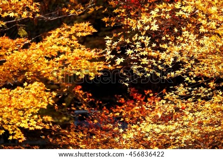 Illuminated autumn leaves ~ Colorful and bright foliage of Japanese maple tree light-up in the night (or under the sunshine) - stock photo