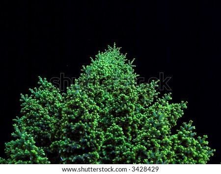 illuminated fir tree and night sky - stock photo