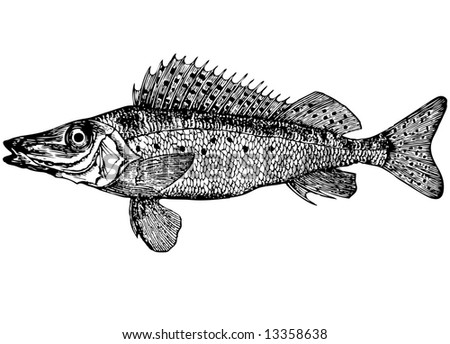 Illustration. For that what to draw and describe the given figure it would be necessary to read through and see many books. Fish is different from an ordinary body and ruff long winter, petty scales