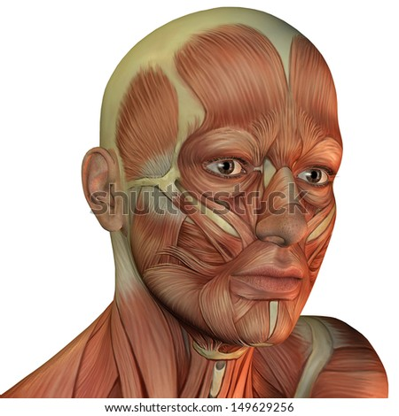 Illustration muscular structure of the male head of the right - stock photo