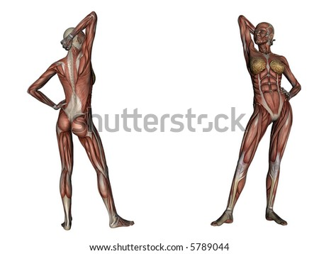 illustration: musculature of one woman - stock photo