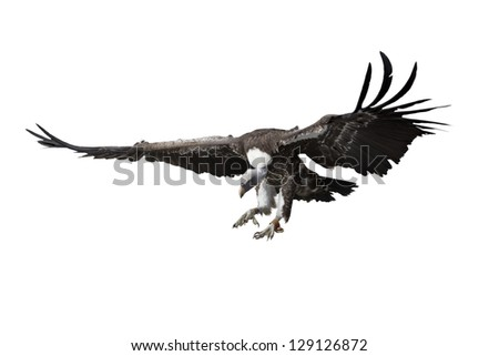 Illustration of a scavenger vulture flying with outstretched wings