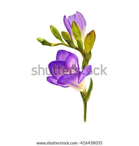 Illustration beautiful flowerfreesia flower painting on stock illustration of beautiful flowerfreesia flower painting on white background mightylinksfo