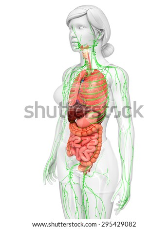 Illustration of Female body lymphatic and digestive system artwork - stock photo