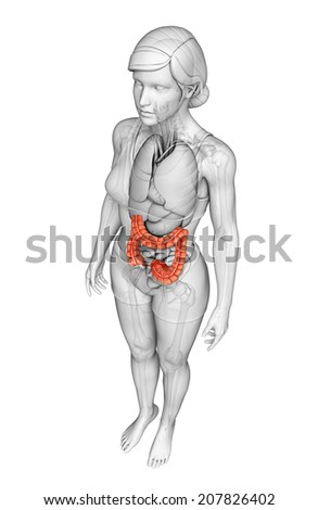 Illustration of Female large intestine anatomy