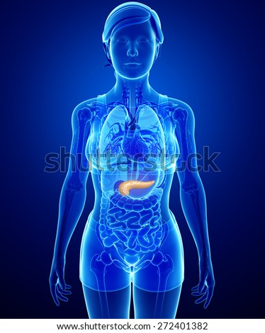 Illustration of female pancreas anatomy - stock photo