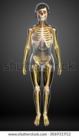 Illustration of female skeleton with nervous system