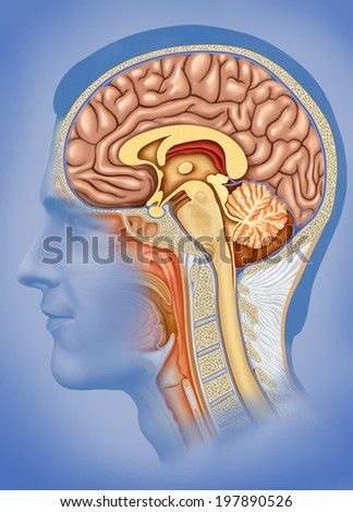Illustration of human head overlooking the brain, cerebellum and spinal marrow ligatures,  - stock photo