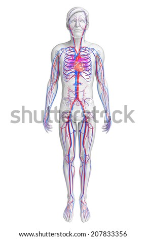 Illustration of human heart anatomy - stock photo