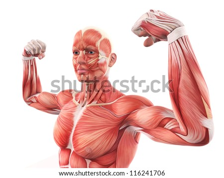 human muscle anatomy stock images, royalty-free images & vectors, Muscles