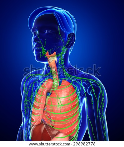 Illustration of Male body lymphatic and digestive system artwork - stock photo