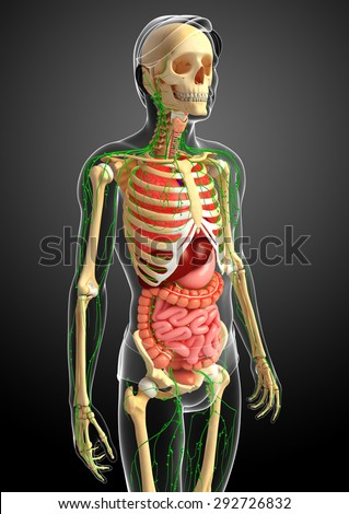 Illustration of Male body lymphatic, skeletal and digestive system artwork - stock photo
