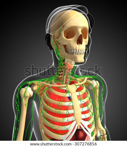 Illustration of Male body lymphatic, skeletal and respiratory system artwork