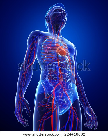 Illustration of Male circulatory system - stock photo