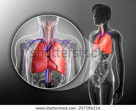 Illustration of male lungs anatomy - stock photo