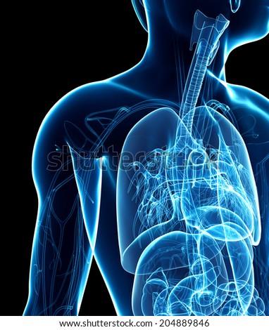 Illustration of male x-ray respiratory ststem artwork - stock photo