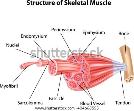 Illustration Structure Skeletal Muscle Anatomy Stock Illustration