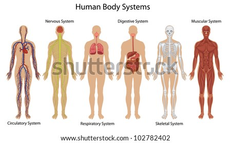 Illustration of the human body systems - EPS VECTOR format also available in my portfolio. - stock photo