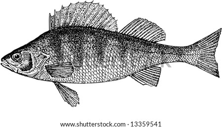 Illustration. The perch of one most numerous inhabitants of fresh waters. The normal sizes up to 1200 gram about 52 cm are long.The anatomic, correct image of the river perch
