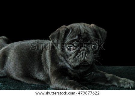 Illustrative image of black Pug on a black background.