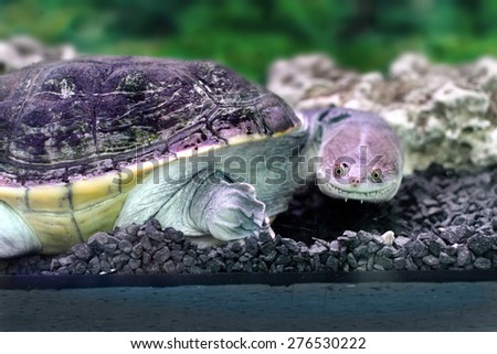 Image amphibian exotic animal Chelidae in water - stock photo