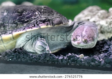 Image amphibian exotic animal Chelidae in wateru - stock photo